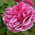 pin_rose2