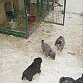 Java : deux chiots noirs et feu mâles disponibles
