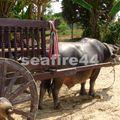 phuket_ferme locale_char à buffalo-01