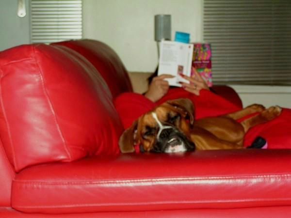 boxer chien l gant les b aches d 39 hotllywood. Black Bedroom Furniture Sets. Home Design Ideas