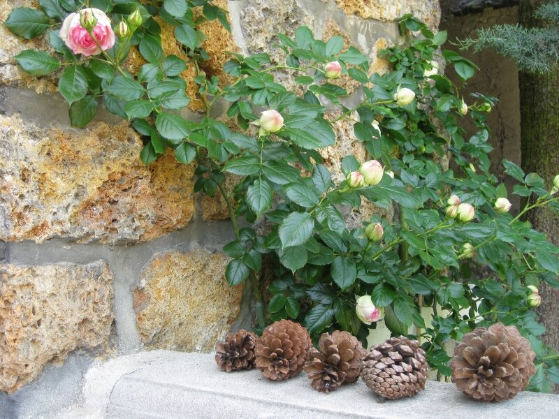 Roses anciennes...