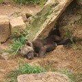 bébé hyène