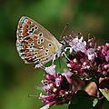 Le Bel argus ou Azuré bleu céleste (Polyommatus bellargus)