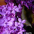 Lilas fleur de paix