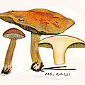 IHx 1 pl 37 216 Boletus bovinus