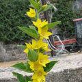 2008 07 17 fleur de lysimaque punctata