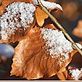 Le hêtre commun glacé , Fagus sylvatica ( <b>Fagacées</b> )