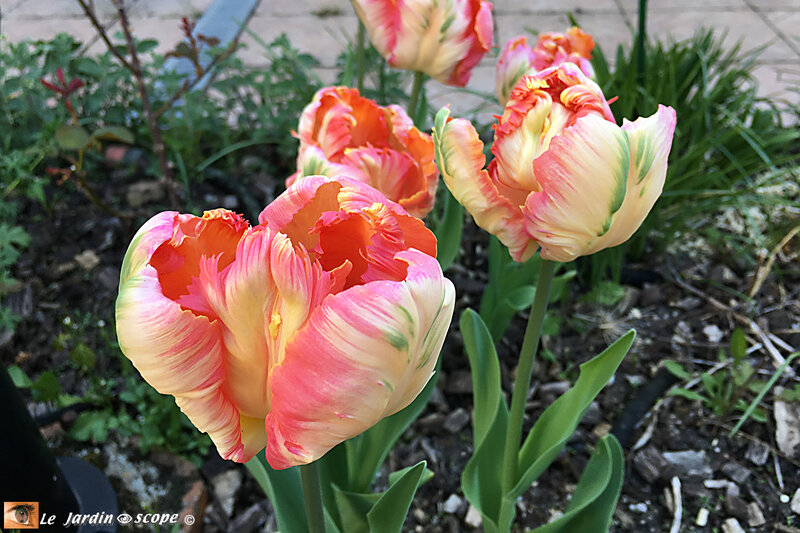 Tulipes-perroquet-Libretto-Parrot-2