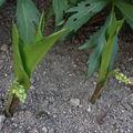2009 05 06 Deux plants de muget