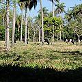 vaches sous les palmiers
