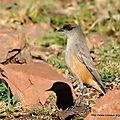 Dormilon à ventre roux (Muscisaxicola capistratus)