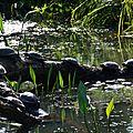 tortues aquatiques-0232