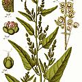 Arroche ou atriplex (atriplex hortense l.)