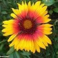 Les bien nommées Gaillardes sont très florifères !