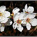 Merisier fleuri 1203154