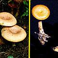 A la poursuite du champignon toxique (Cltocybe amoenolens)