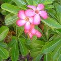 Fleurs de baobab du chacal (Maracudja, ton jardin est un véritable paradis !!)