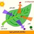 التيادلات الغازية عند النبات (اليخضوري) الأخضر