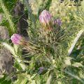 <b>Chardon</b> à petites fleurs