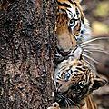 tigre4_246073330_n