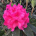 Le rhododendron à l'entrée du jardin