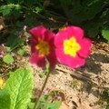 les fleurs de mon jardin16