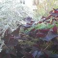 Oxalis, côté jardin