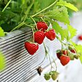 18 fraises (Large)