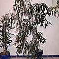 Bonjour Ficus <b>Alii</b> !