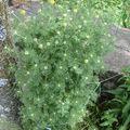 2008 07 02 Anthémis des teinturiers, bientôt en fleur