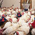 Sur 100 Poulets et de dindes achetés en grande surface, sur les marchés ou en boucherie 26 % étaient <b>contaminés</b>