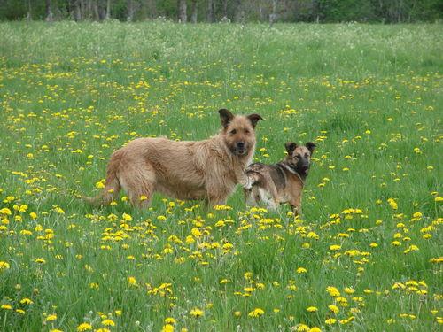 2008 05 13 Cacahutète et sa fille Kapy dans les fleurs de pissenlit