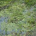 Callitriche des eaux stagnantes