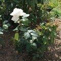 Un nouveau rosier dans mon jardin