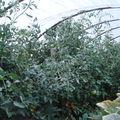 2008 08 11 Mes tomates sous serre