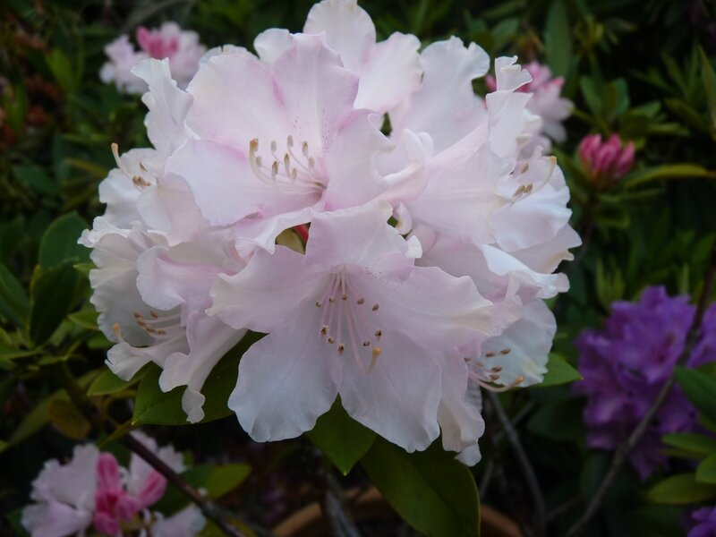 Encore les rhododendrons !