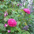 Le Rosier 'Rose de resht'