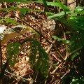 Serpent zaocis/big-eye rat snake/過山刀 (zaocis dhumnades)