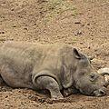 Six rhinocéros blancs arrivent au zoo de <b>San</b> <b>Diego</b> comme futures mères porteuses