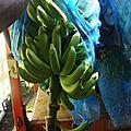 Plantation de banane (1)