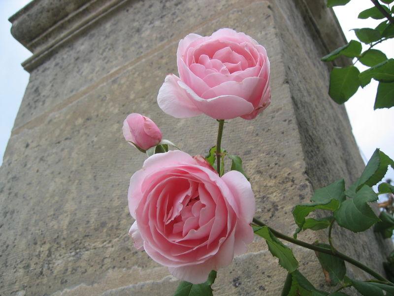 Rose : 'Nahéma'