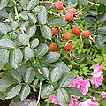 Confiture de rugosa ( ou rosier à fruits)
