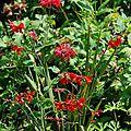Monarda 'gardenview scarlet', crocosmia 'twilight fairy crimson'.