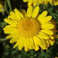 2008 07 27 Une fleur d'anthémis des teinturiers