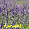 Lavender - Queen of herbs