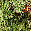 Grimpereau des jardins 16-1