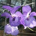 orchidee bleues
