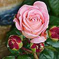 La rose Notre <b>Dame</b> du <b>Rosaire</b>