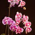 florissimo Dijon 2010 orchidées