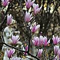 Les magnolias du jardin du <b>Palais</b> <b>Royal</b>